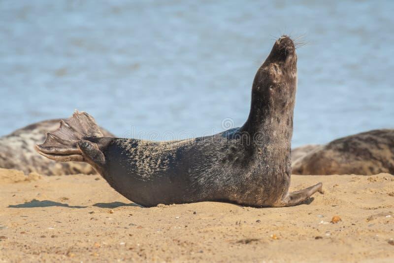 Уплотнение греясь на пляже стоковое изображение rf