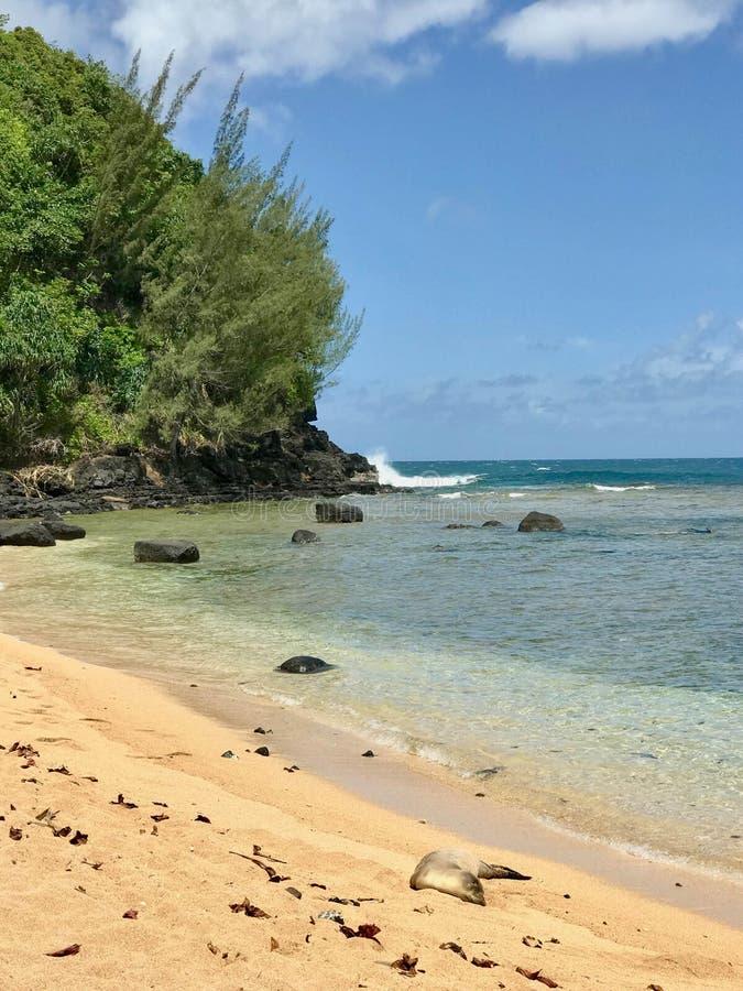Уплотнение монаха на пляже, Кауаи, Гаваи, США стоковые фото