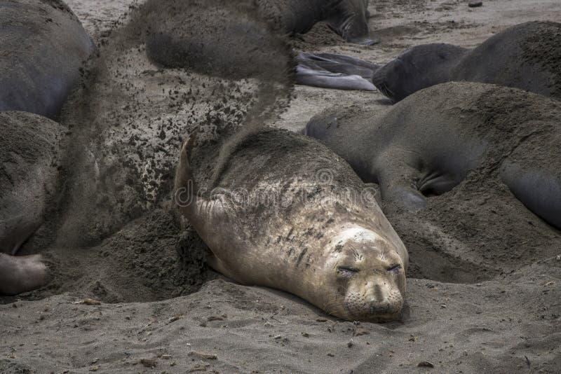 Уплотнение слона бросает песок на заднюю часть в конце пляжа вверх стоковое фото rf