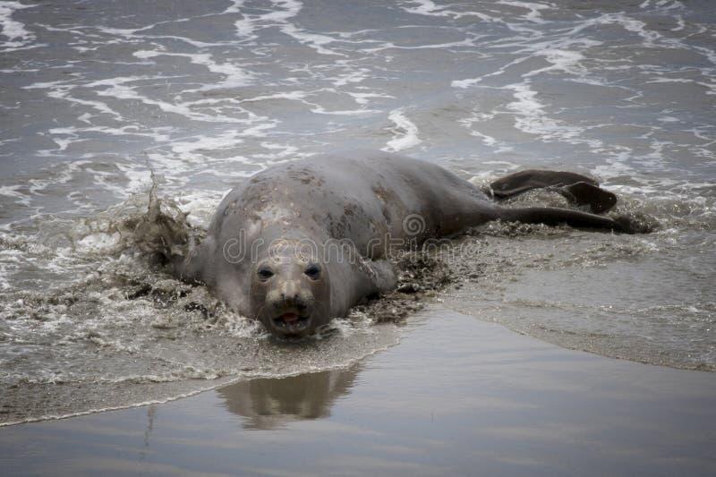 Уплотнение слона вползает через прибой на пляж в Калифорния стоковое фото