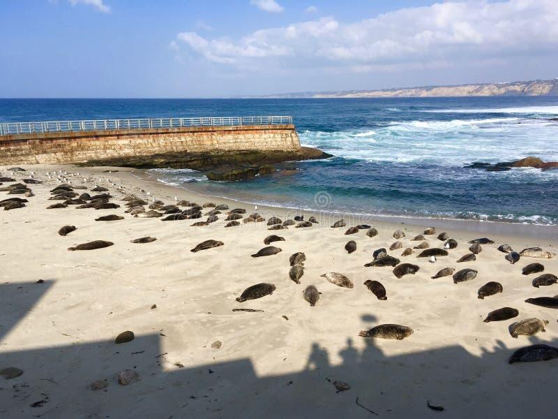 Уплотнения зимы на пляже стоковые изображения rf