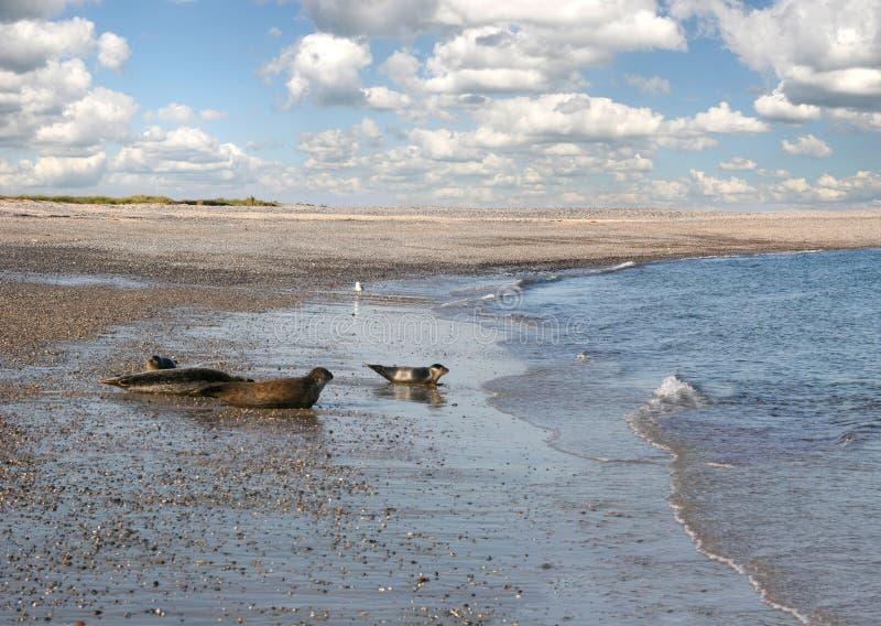уплотнения пляжа стоковые изображения