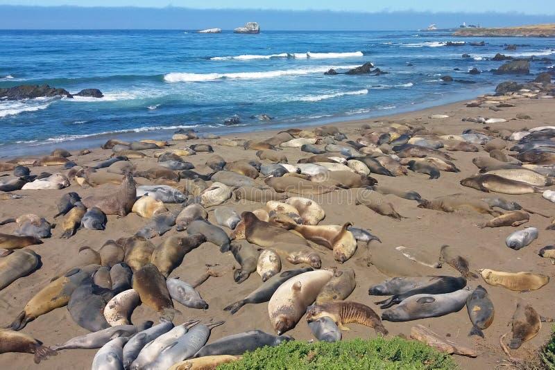 Уплотнения слона спать на пляже стоковые фотографии rf