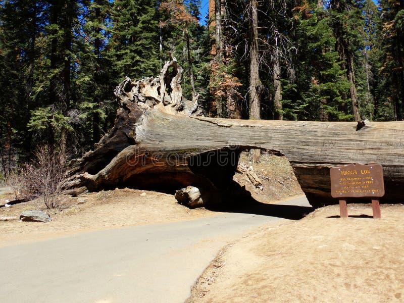 Управляйте через журнал тоннеля - лес Redwood, национальный парк секвойи, Калифорнию стоковые изображения