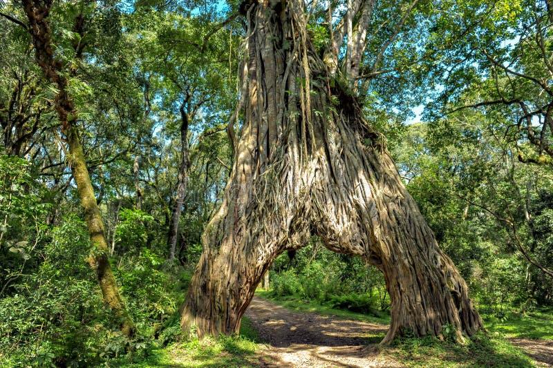 Управляйте через смоковницу, дерево фикуса с отверстием для автомобиля стоковое изображение rf