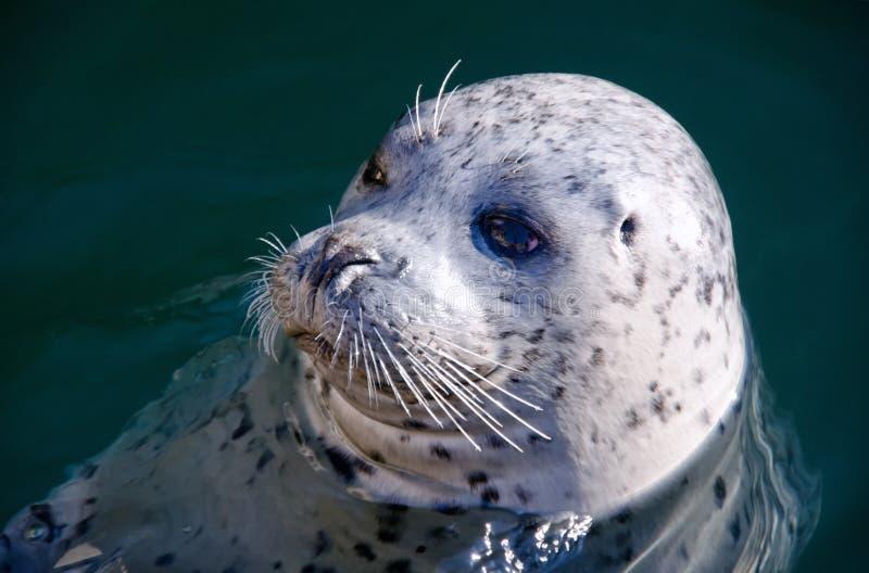 Уплотнение гавани или общее уплотнение (настоящий тюлень Vitulina) стоковая фотография