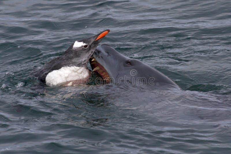 Уплотнение леопарда которое пробует схватить пингвинов Gentoo в a стоковое фото