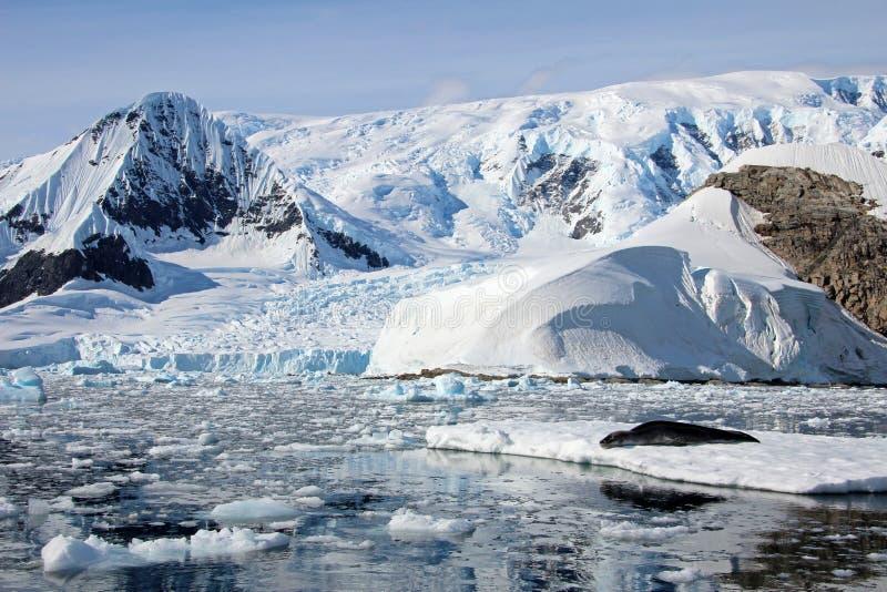Уплотнение леопарда отдыхая на ледяном поле стоковое фото