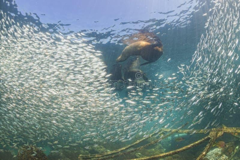 Уплотнения морсого льва после гигантской сардины затравливают шарик стоковые фотографии rf