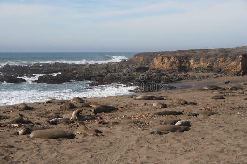 Уплотнения слона на пляже Калифорнии в зиме стоковые изображения rf