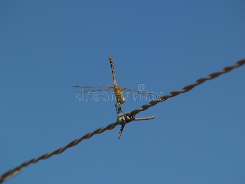 уравновешение dragonfly стоковые фотографии rf