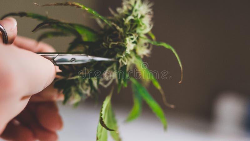 В слюне конопля марихуану в армении легализовали
