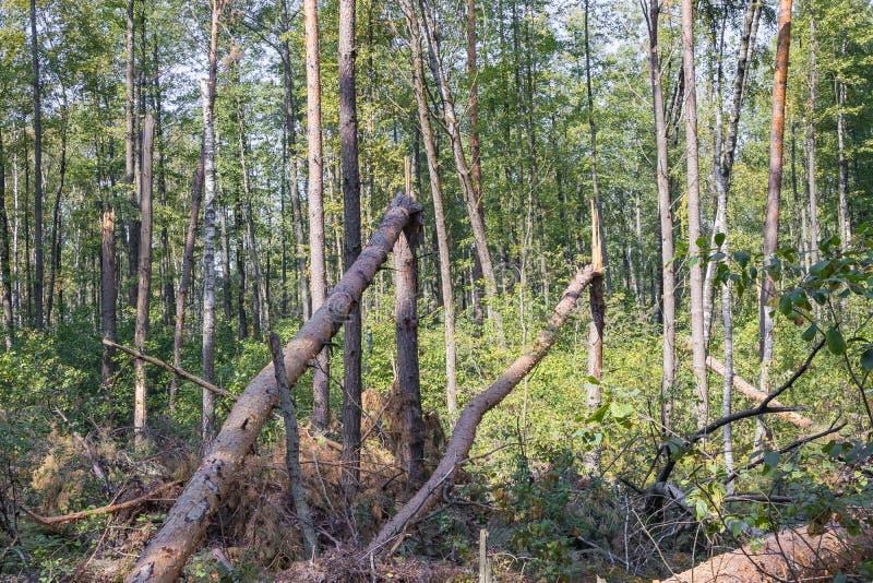 Ураган в лесу вырубил деревья и они упали стоковое фото rf