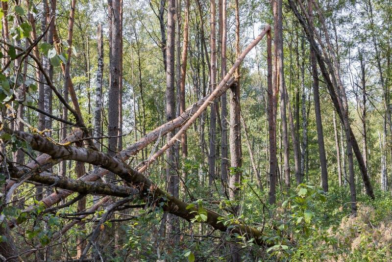 Ураган в лесу вырубил деревья и они упали стоковое фото