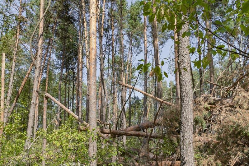 Ураган в лесу вырубил деревья и они упали стоковая фотография