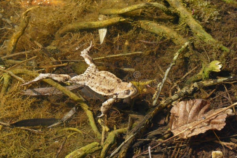 Уродская жаба стоковая фотография