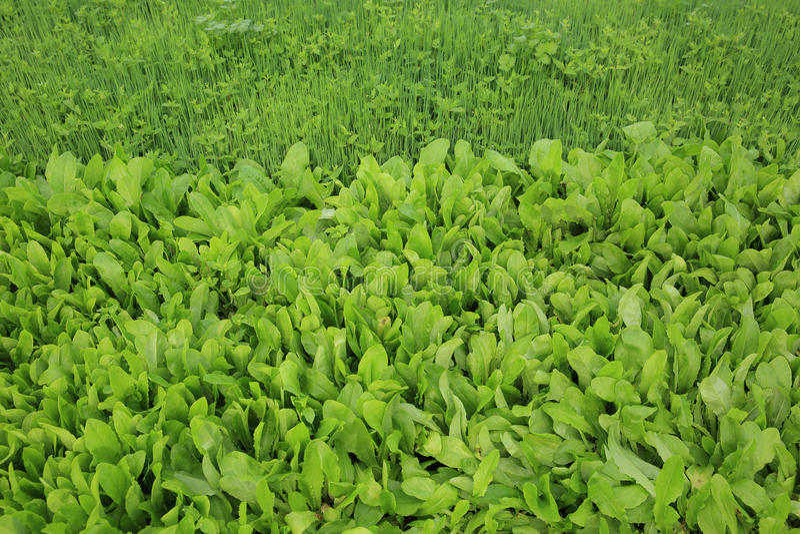 Урожаи зеленого лука весны и индийского салата в росте стоковые фотографии rf