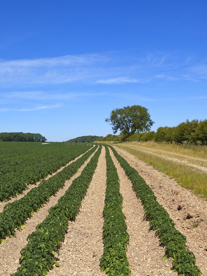 Урожаи картошки и дерево золы следом фермы в летнем времени стоковая фотография rf