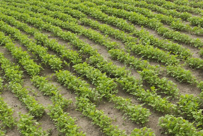 Урожаи мустарда как зеленый позем в саде стоковое фото