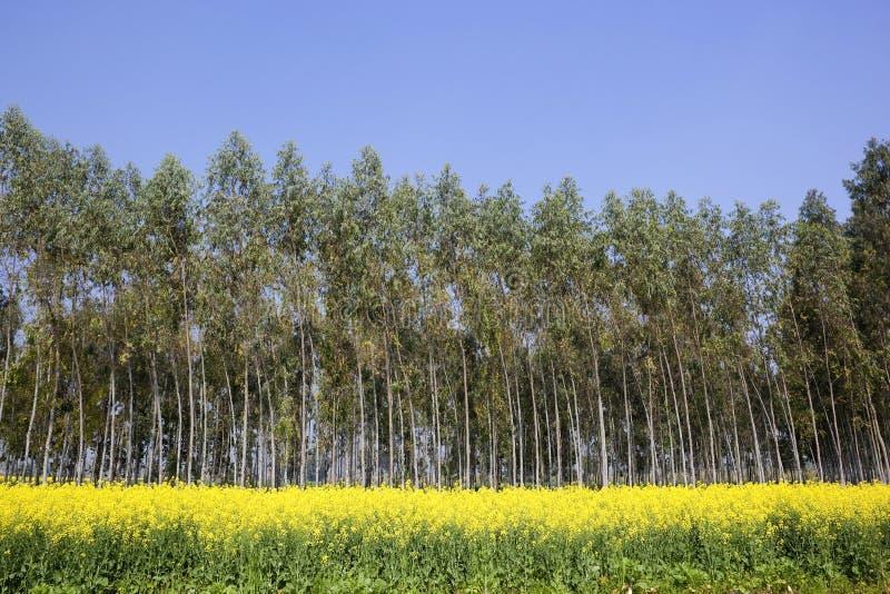 Урожаи мустарда с деревьями евкалипта стоковые фотографии rf