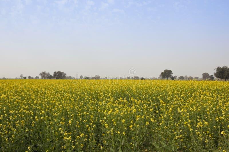 Урожаи мустарда Abohar стоковая фотография rf