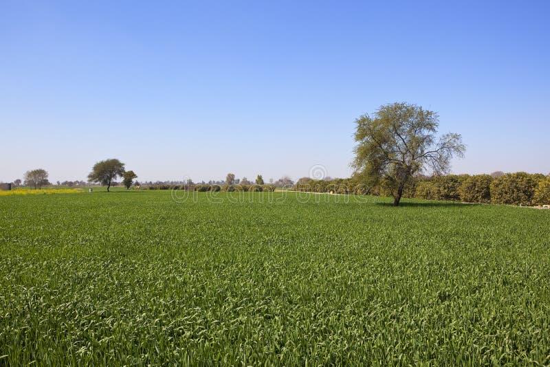 Урожаи пшеницы в Раджастхане стоковые изображения