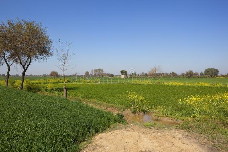 Урожаи пшеницы и корма в Раджастхане стоковые фото