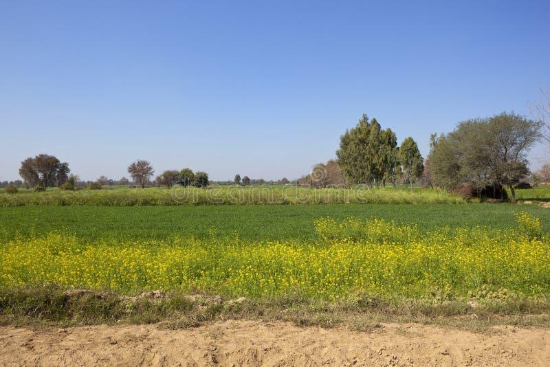 Урожаи пшеницы и мустарда в Раджастхане стоковые фотографии rf