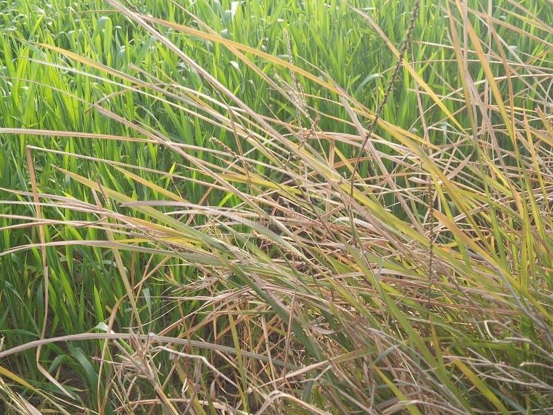 Урожаи риса стоковые изображения