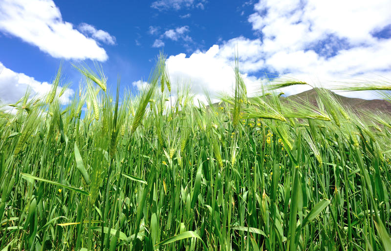 Урожаи ячменя гористой местности стоковое фото rf
