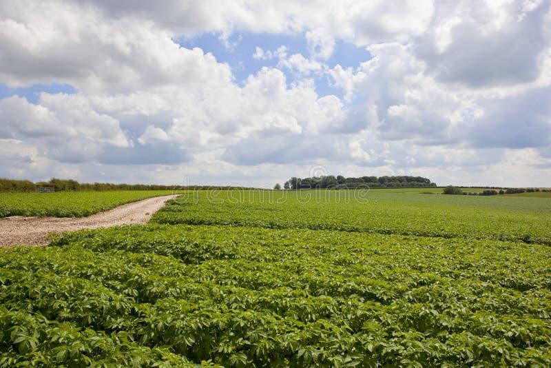 Урожай картошки Йоркшира стоковые изображения rf