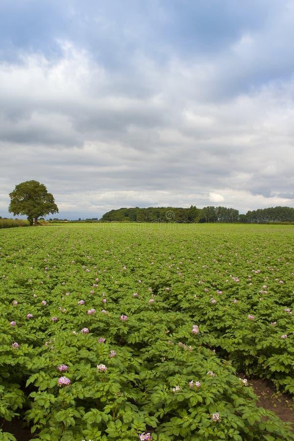 Урожай картошки лета стоковое изображение