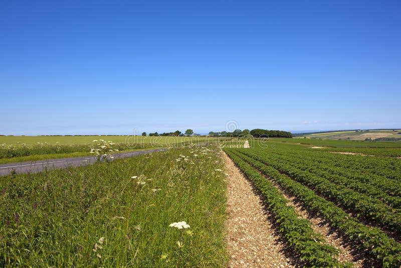 Урожай картошки Sledmere стоковое фото