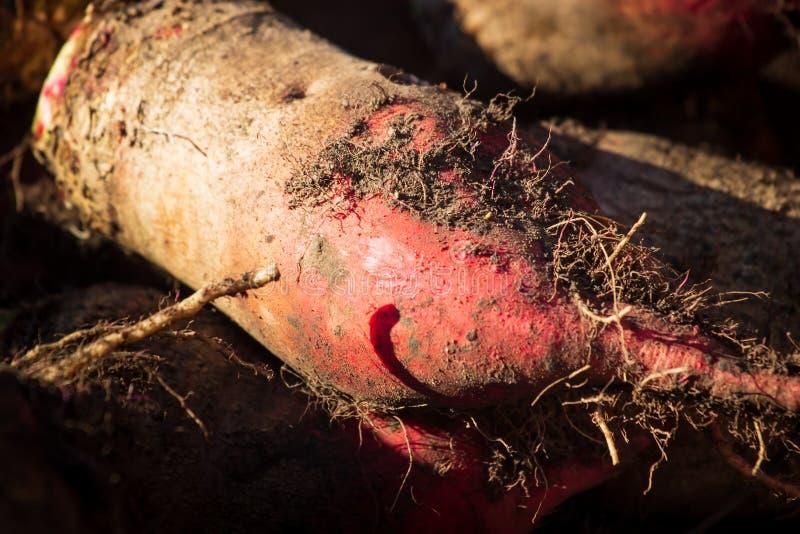 Урожай корня в земле, селективный фокус сахарной свеклы beens Просто свекла Свекла таблицы Свекла сада Зрелые свеклы и на том осн стоковое фото rf