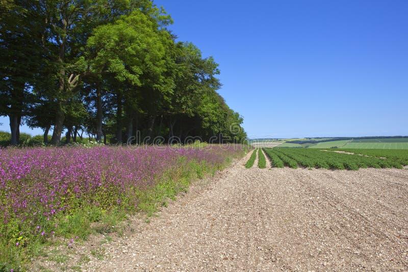 Урожай красного лихниса и картошки стоковое фото rf