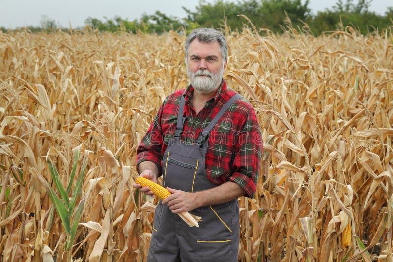 Урожай мозоли фермера рассматривая в поле стоковая фотография
