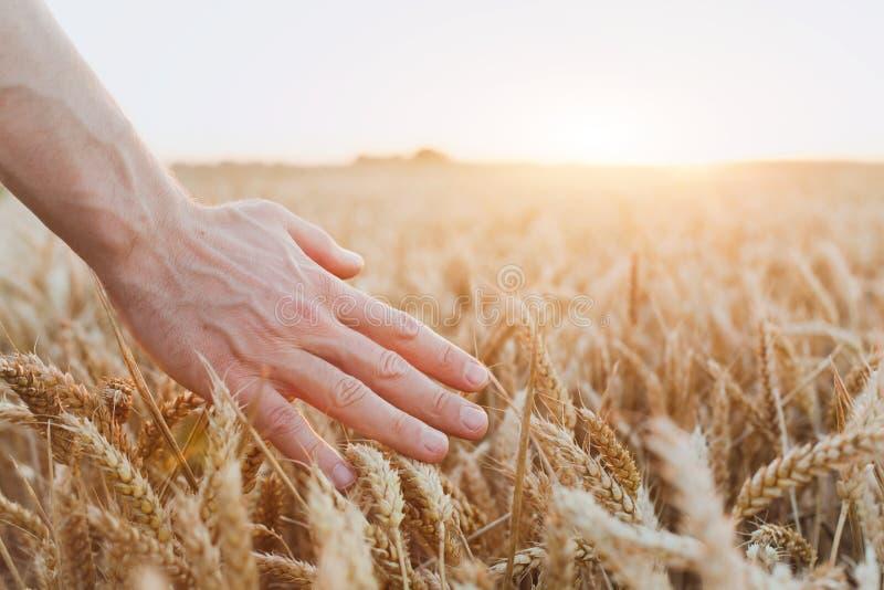 Урожай пшеницы, конца вверх руки, здоровой жизни и здоровья стоковая фотография