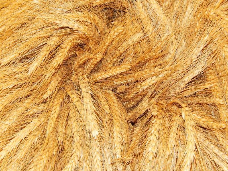 урожай сжал Уши пшеницы в пуке стоковое изображение rf