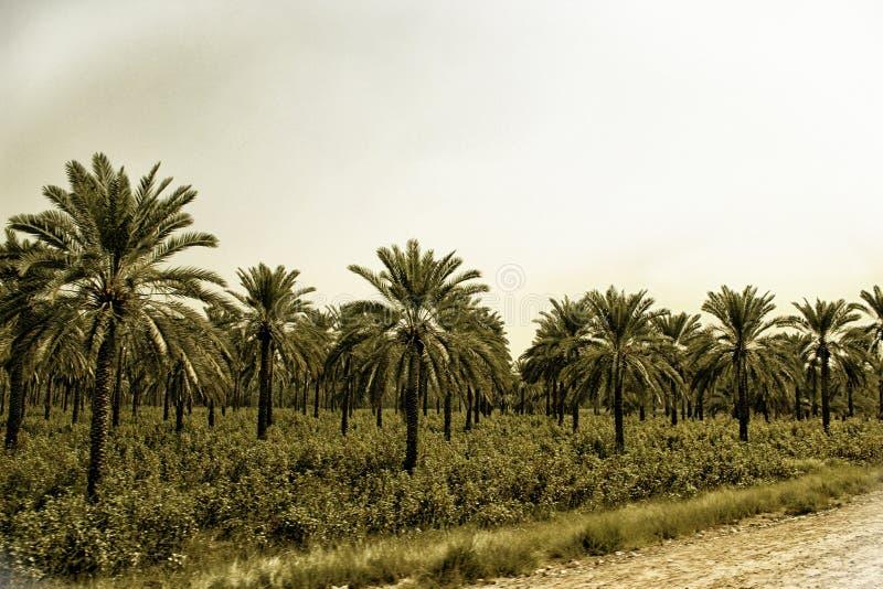 Урожай финиковых пальм & хлопка стоковая фотография rf