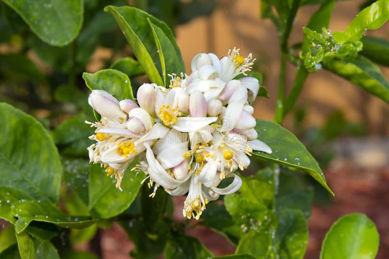 Урожай цветков лимона стоковое фото rf