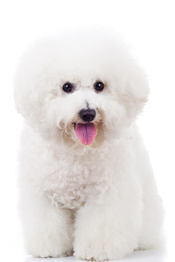усаженный щенок frise собаки bichon стоковое фото
