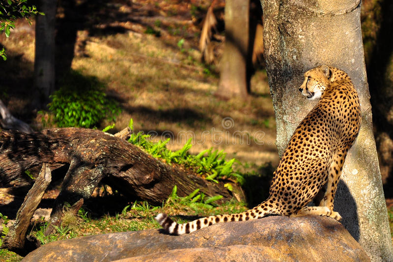 усаживание гепарда стоковое фото rf
