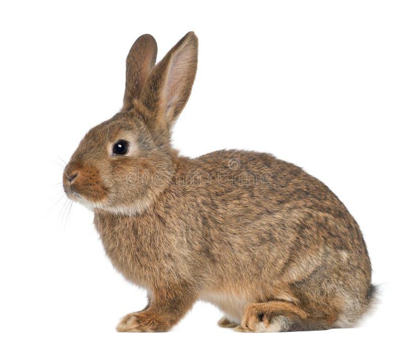 Усаживание кролика стоковое фото