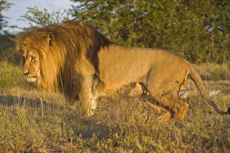 усаживание льва стоковое фото