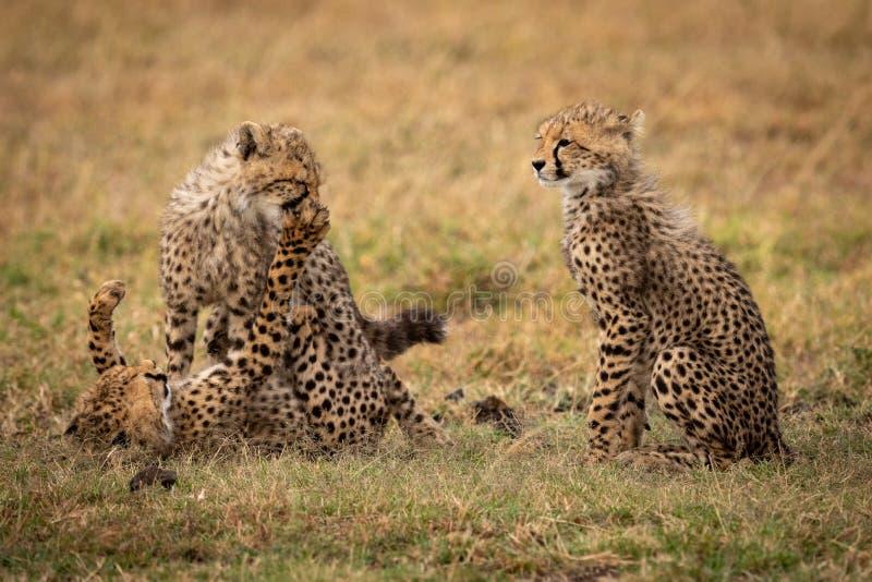 Усаживание новичка гепарда как другие бой игры стоковые фото