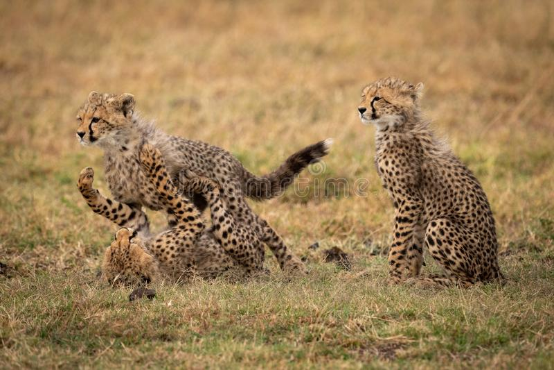 Усаживание новичка гепарда пока другие бой игры стоковая фотография