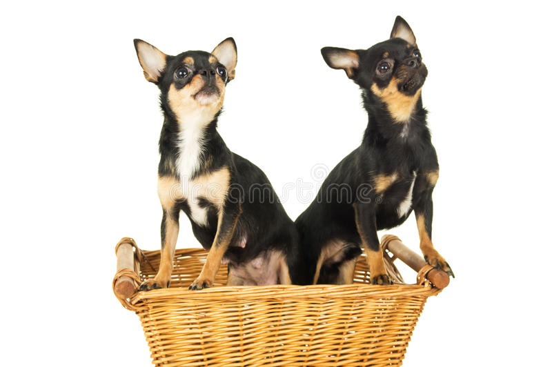 Download Усаживание собаки 2 чихуахуа Стоковое Фото - изображение насчитывающей декоративно, собач: 37931764