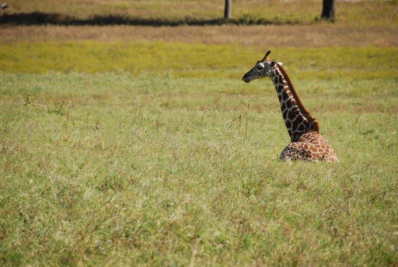 усаживание травы giraffe стоковое изображение rf