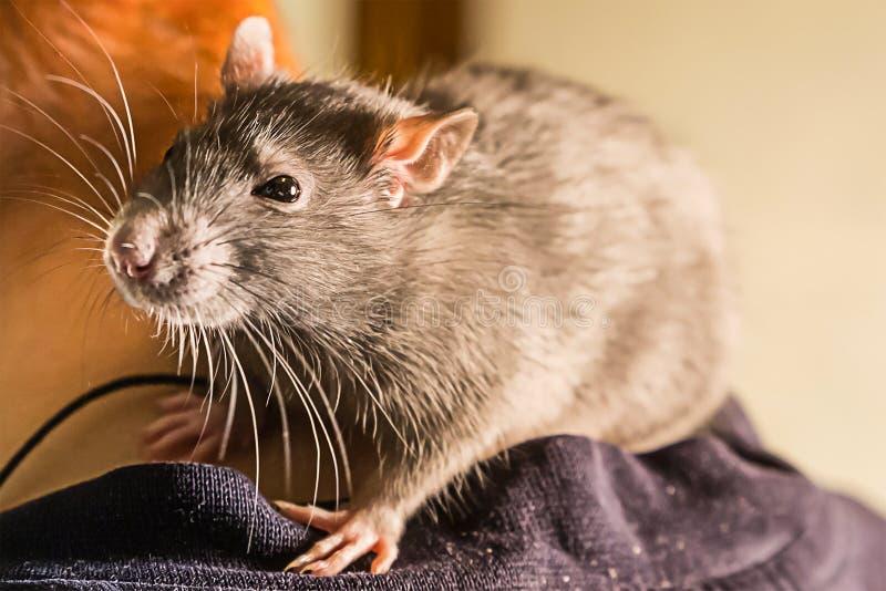 Усаживание умной крысы зверя руки серое большое пушистое на конце-вверх плеча смотря с сюрпризом стоковые фотографии rf