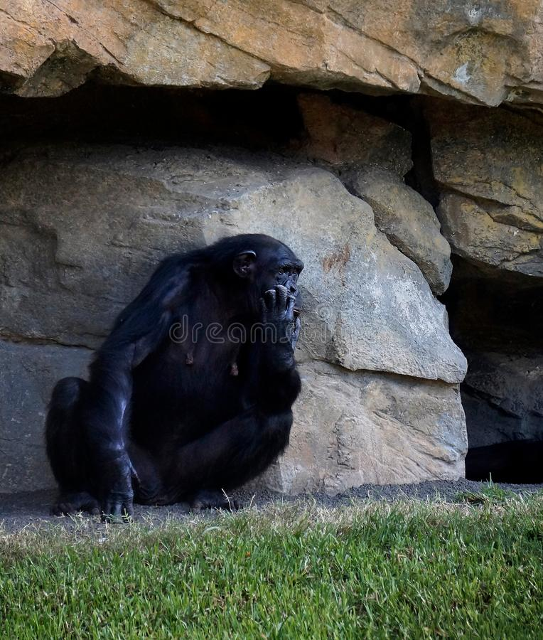 Усаживание шимпанзе женское на предпосылке утеса стоковое изображение